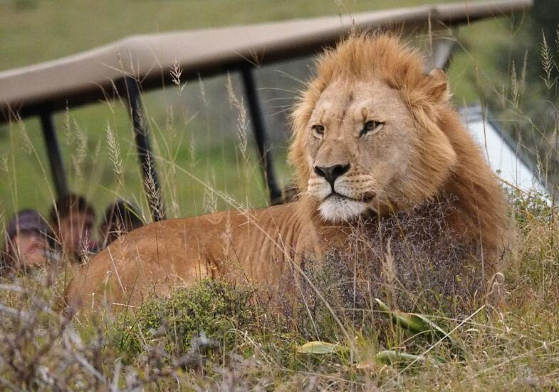 Lion viewing with tour guide